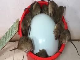 trampa ratones