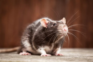 enfermedades roedores