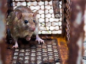 tipos de rata