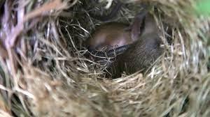 nido ratones