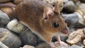 caracteristicas ratones