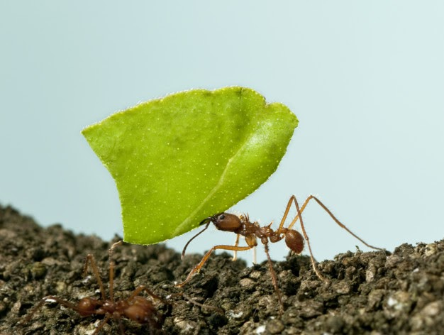 hormiga española