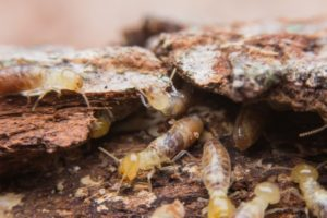 indicaciones termitas