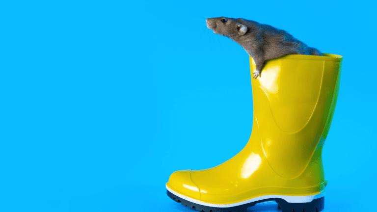 ratas y lluvia