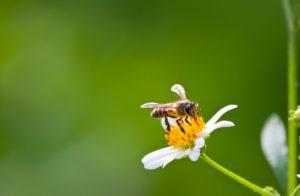 abeja especie protegida